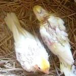 松川飼育センターにいたオカメインコの雛
