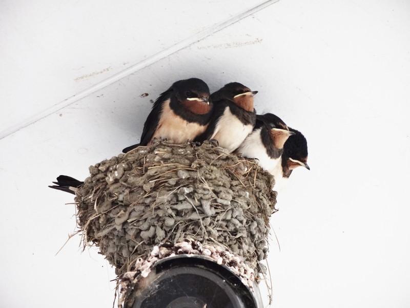 ツバメの巣(雛入り)