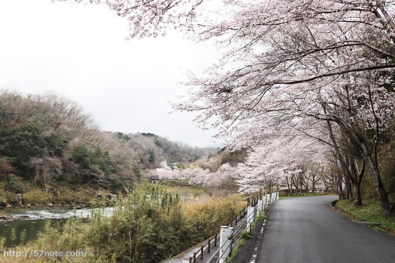 岩倉峡の桜