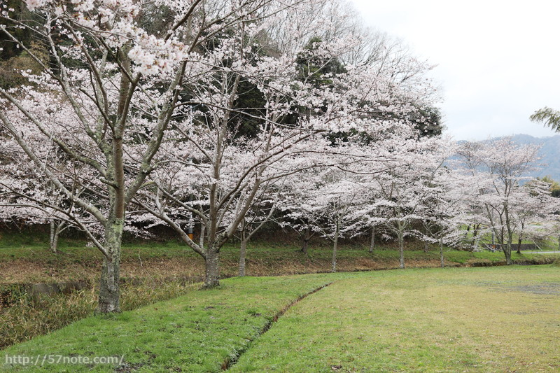 岩倉峡の駐車場から見える桜