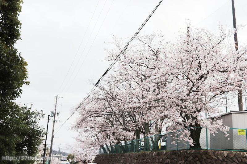 崇高中学校の桜