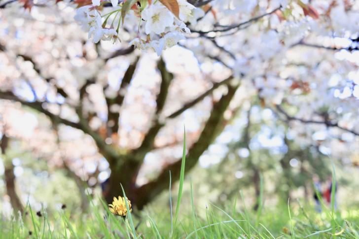 御所の桜とたんぽぽ